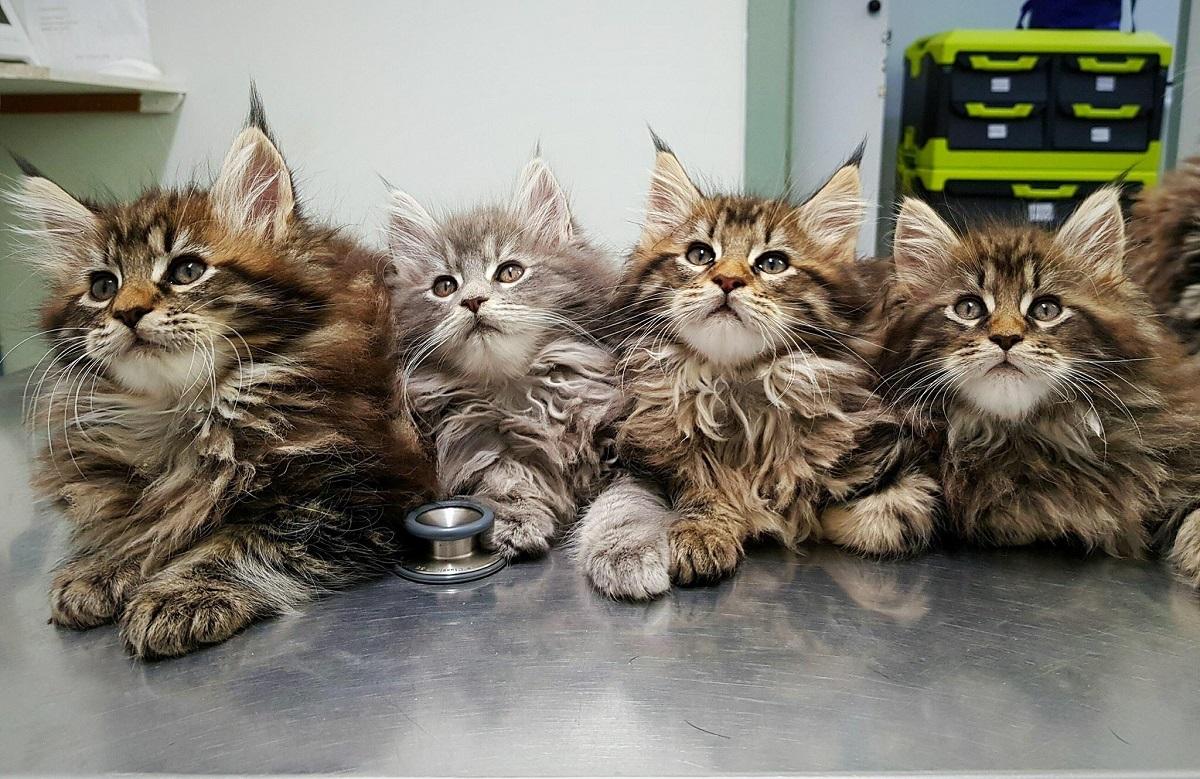 quattro cuccioli di maine coon dal veterinario