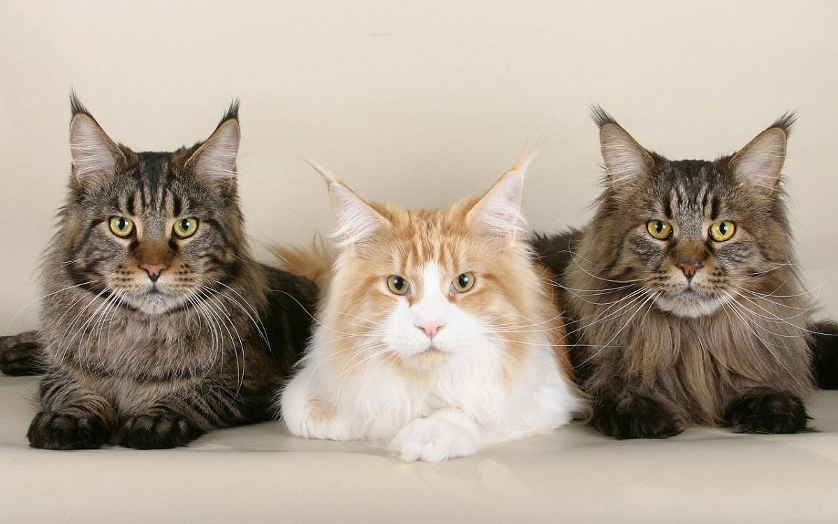 tre gatti maine coon