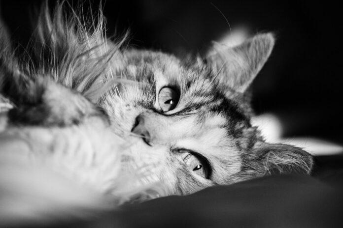 foto maine coon in bianco e nero