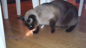 Gatto vomita schiuma bianca: cause