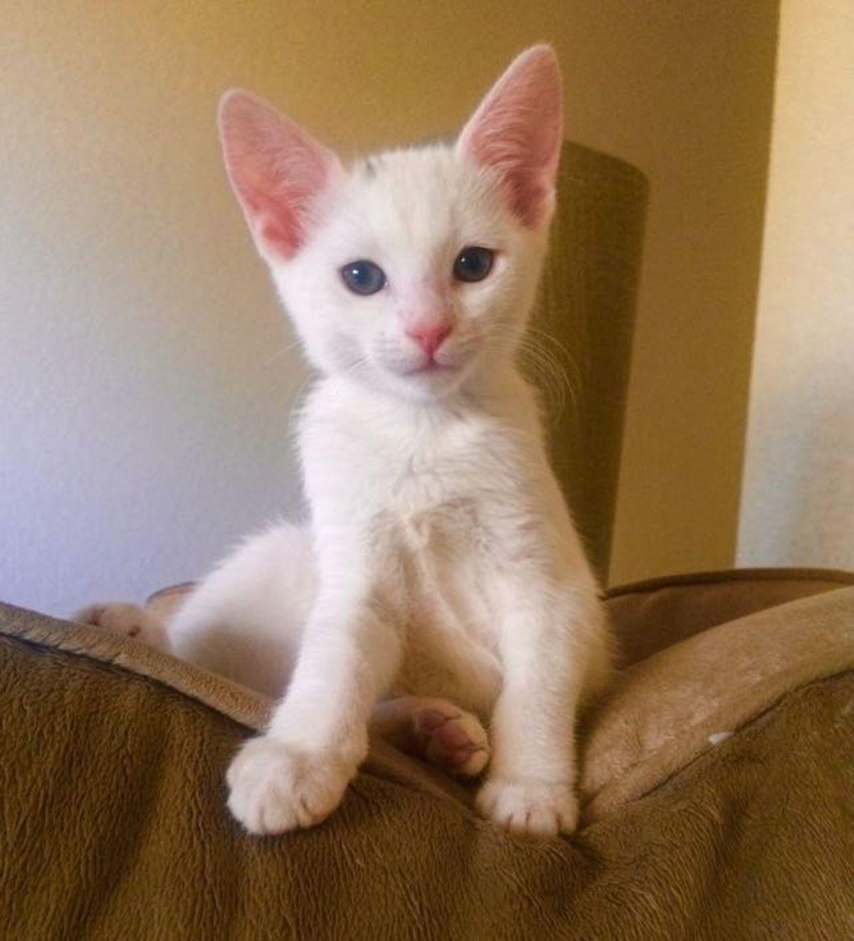 gatto-bianco-su-divano