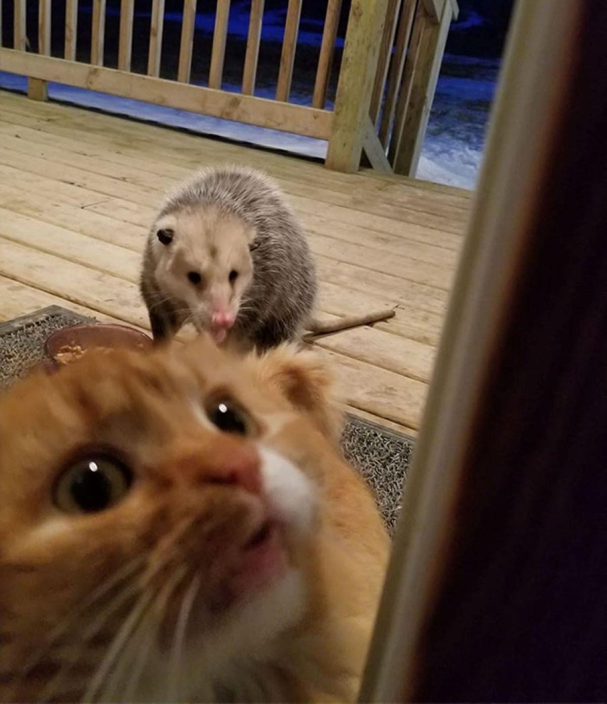 gatto-implorante