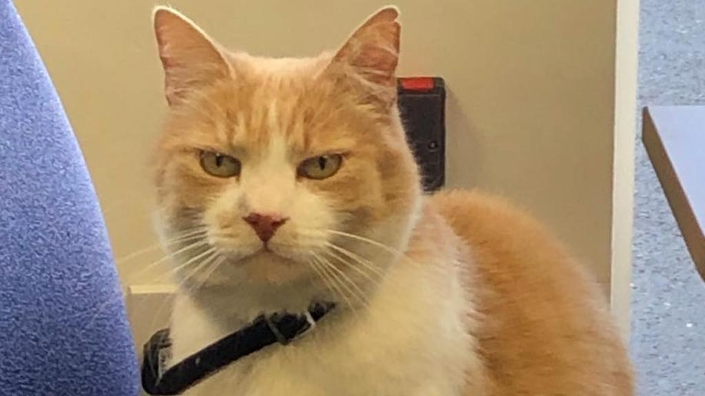 gatto-con-collarino