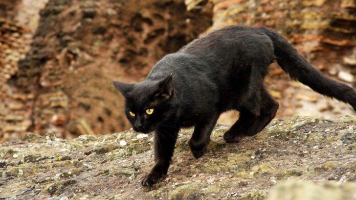 gatto randagio nero