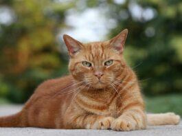 gatto rosso all'aperto