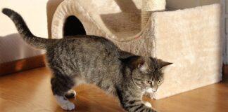 gatto gratta per terra
