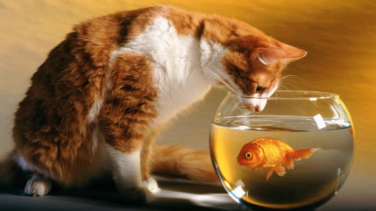 gatto fissa boccia con pesce