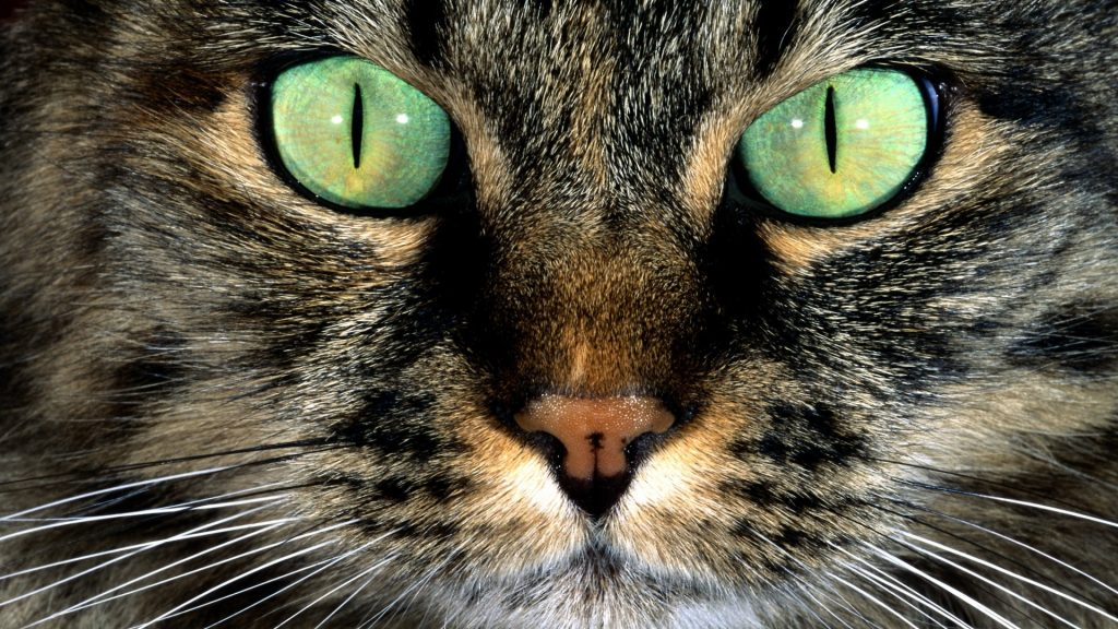 primo-piano-di-gatto-occhi-verdi