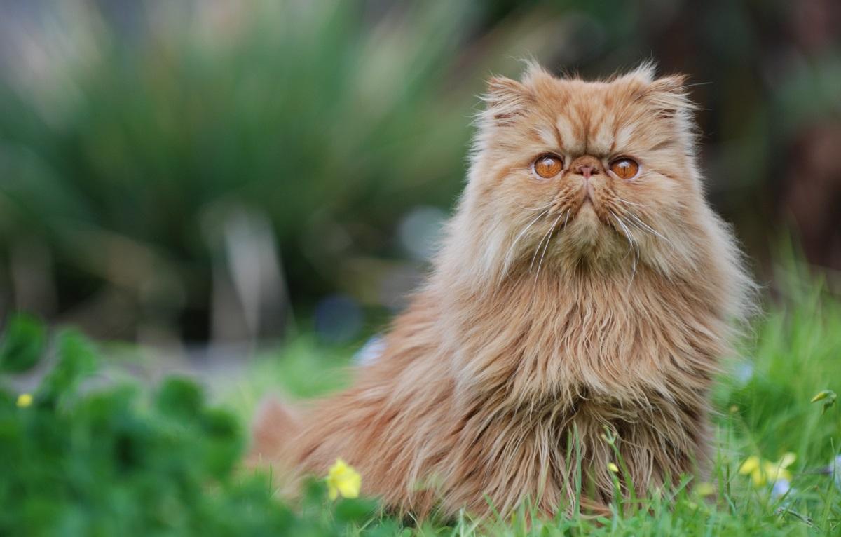 gatto persiano su un prato