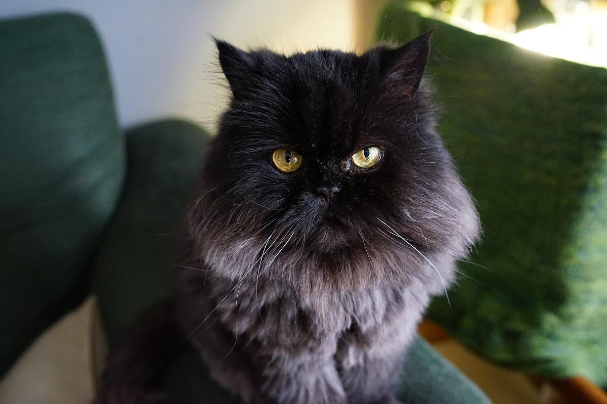 gatto persiano su divano