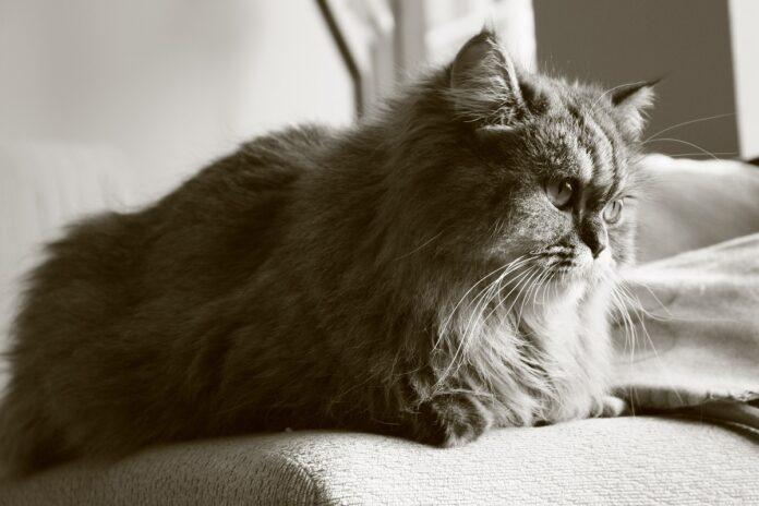 gatto persiano foto in bianco e nero