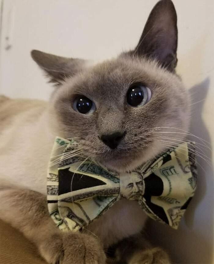gatto-con-papillon