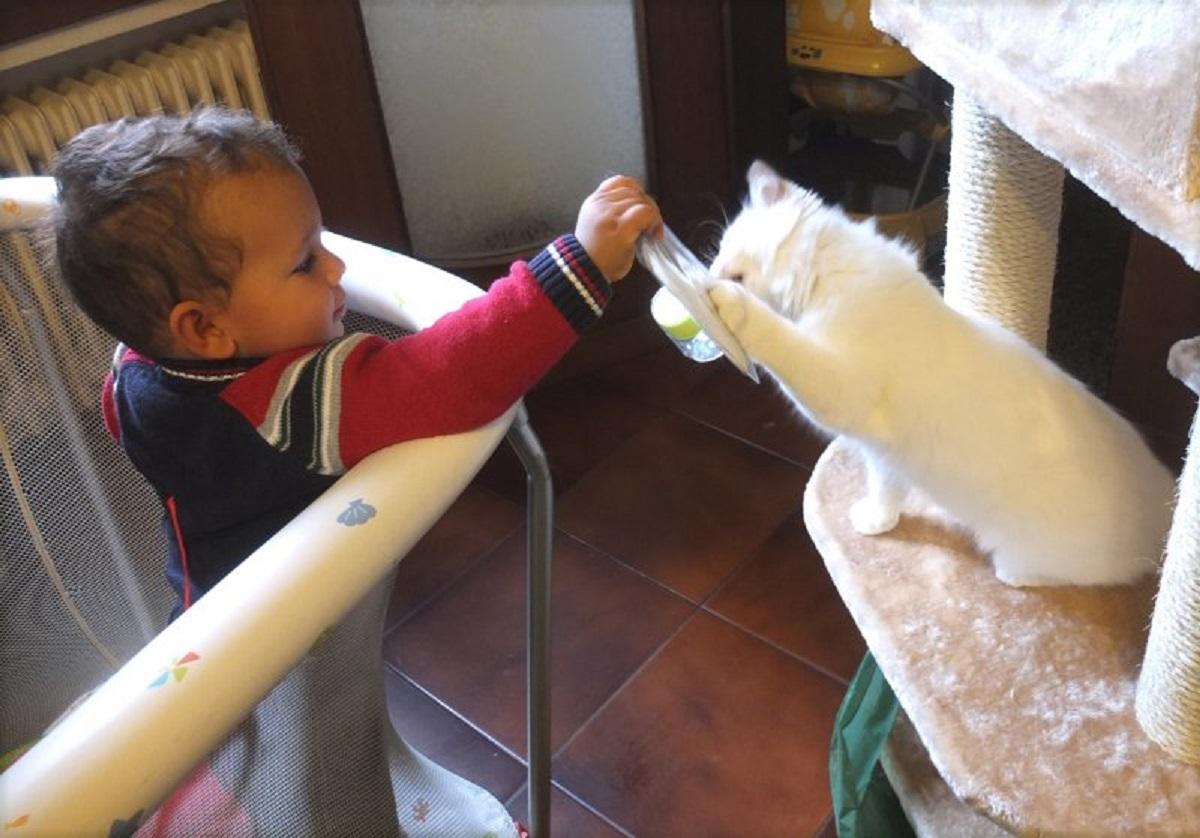 bambino gioca con gatto ragdoll