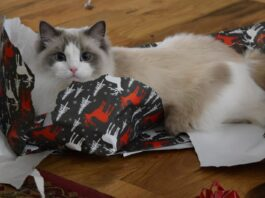ragdoll in carta da regalo