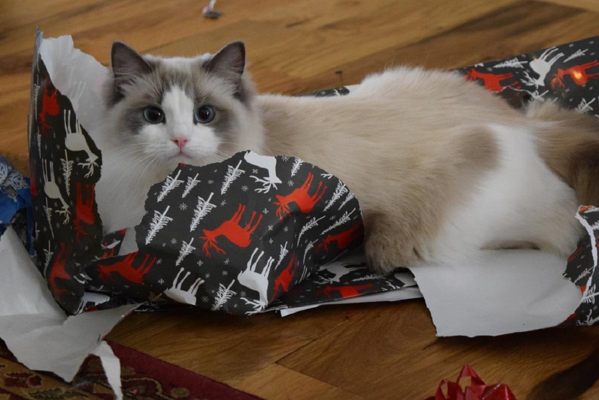 ragdoll in carta da regalo