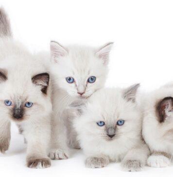 gattini ragdoll su sfondo bianco