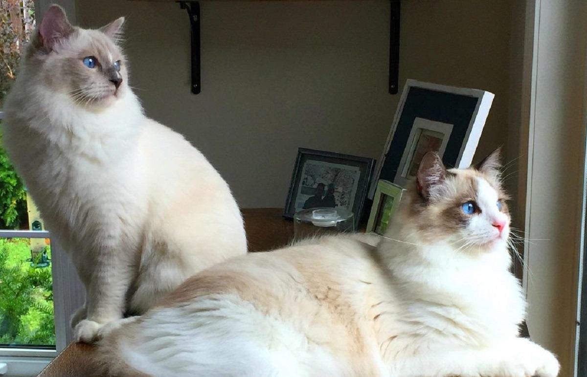 due gatti ragdoll su comò