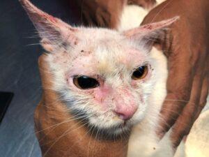 Scabbia nel gatto