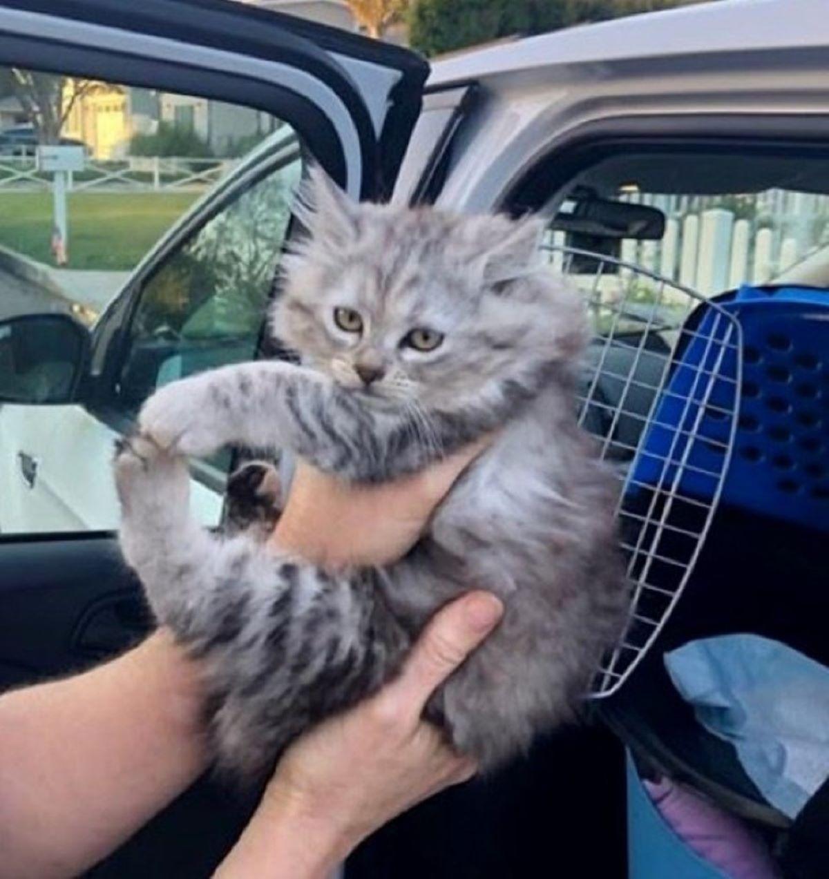 gattino-grigio-peloso