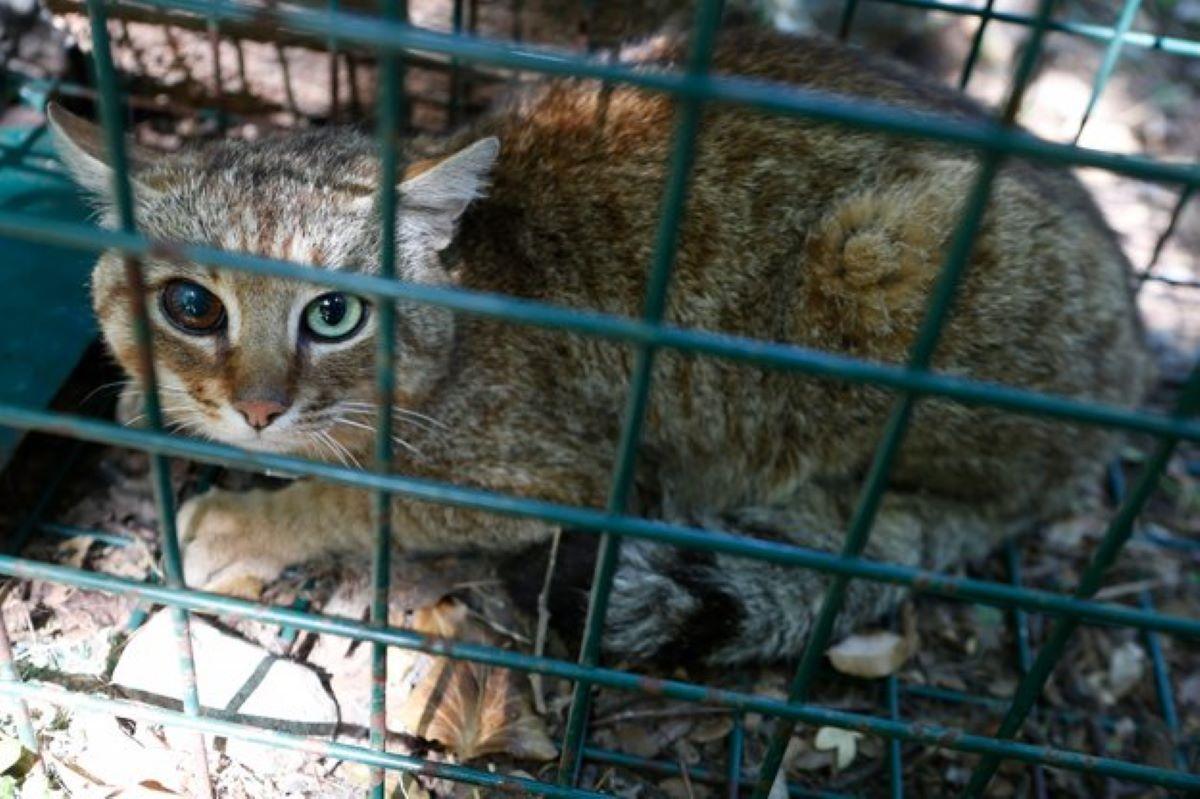 gatto-selvatico-in-gabbia