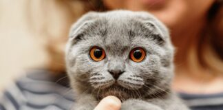 gattino razza scottish fold