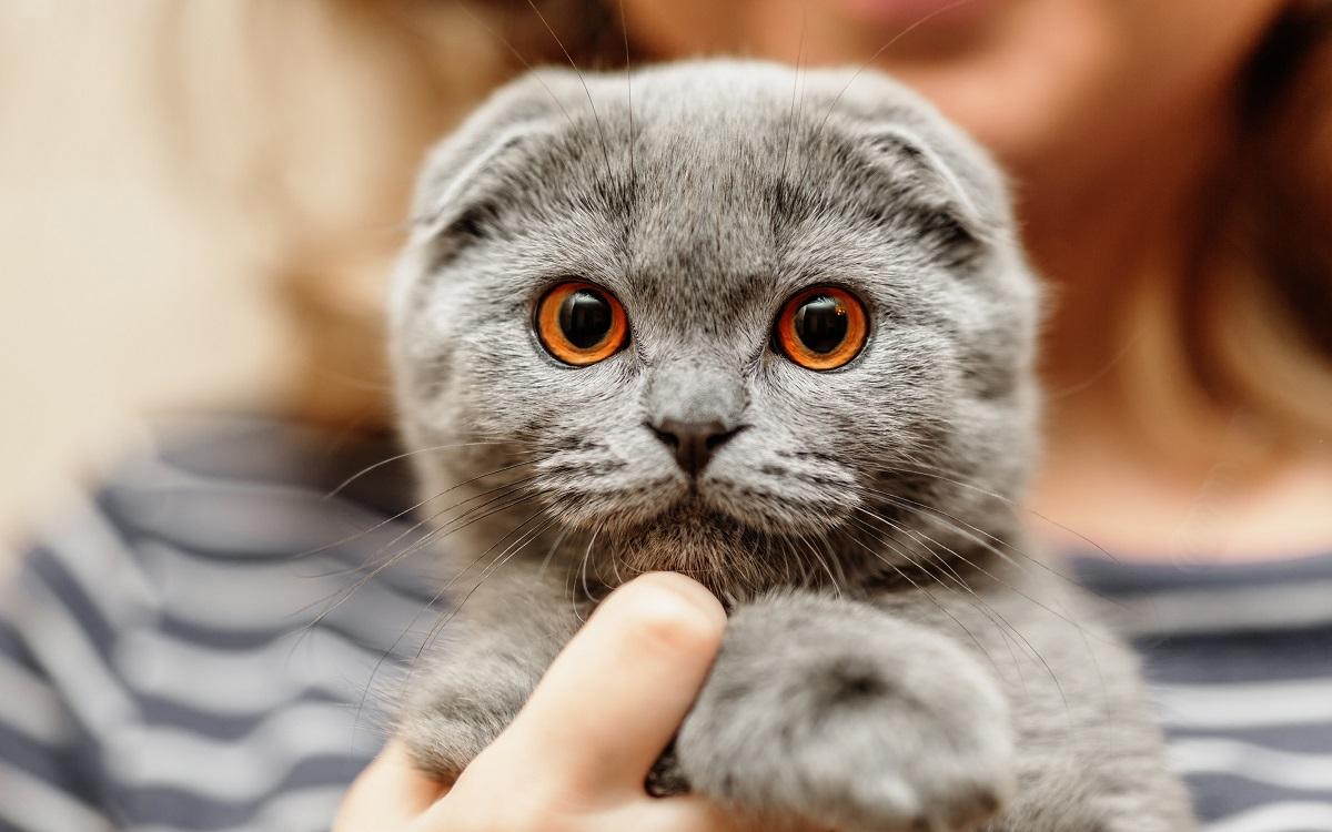 gattino razza scottish fold