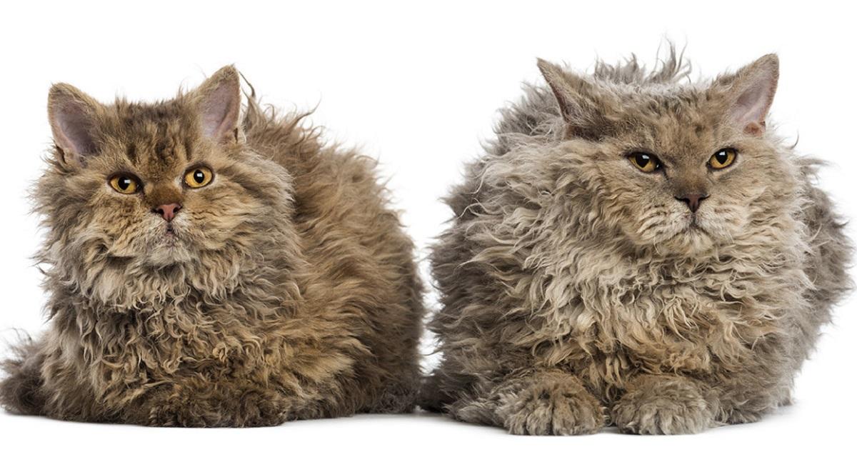 due gatti selkirk rex su sfondo bianco