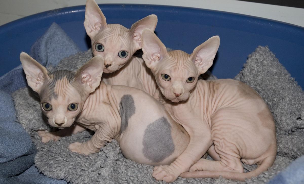 tre cuccioli di sphynx