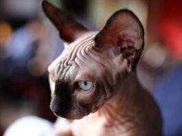 primo piano di un gatto sphynx