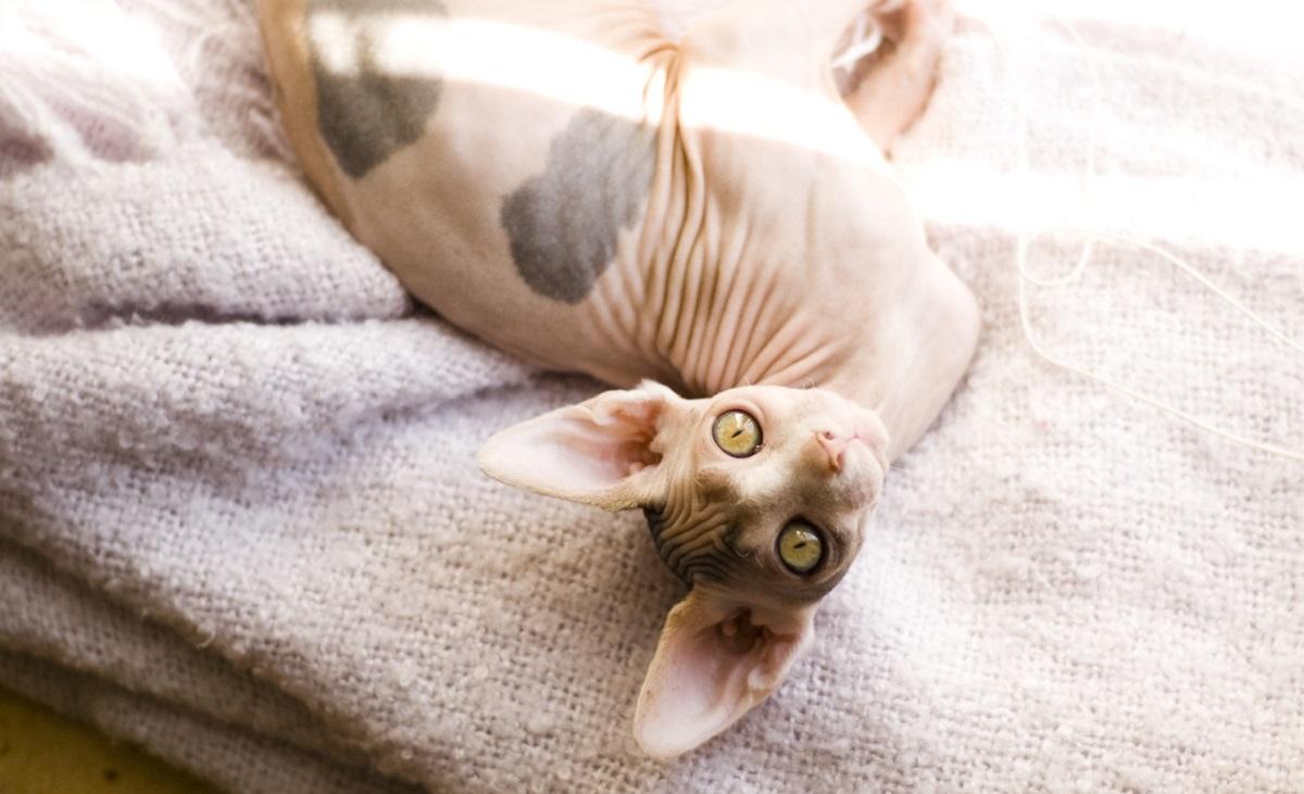 gatto sphynx sul letto
