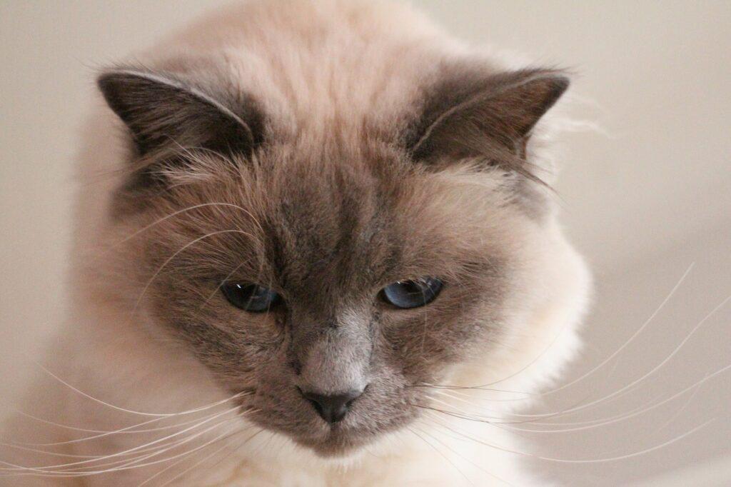 testa del gatto sacro di birmania