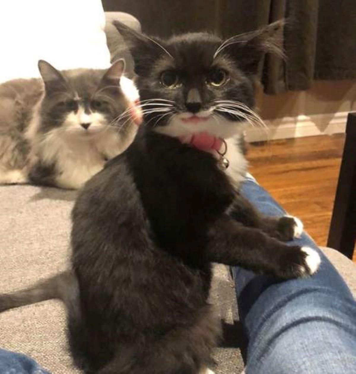 gattino-con-collare-rosa-e-gatto-peloso