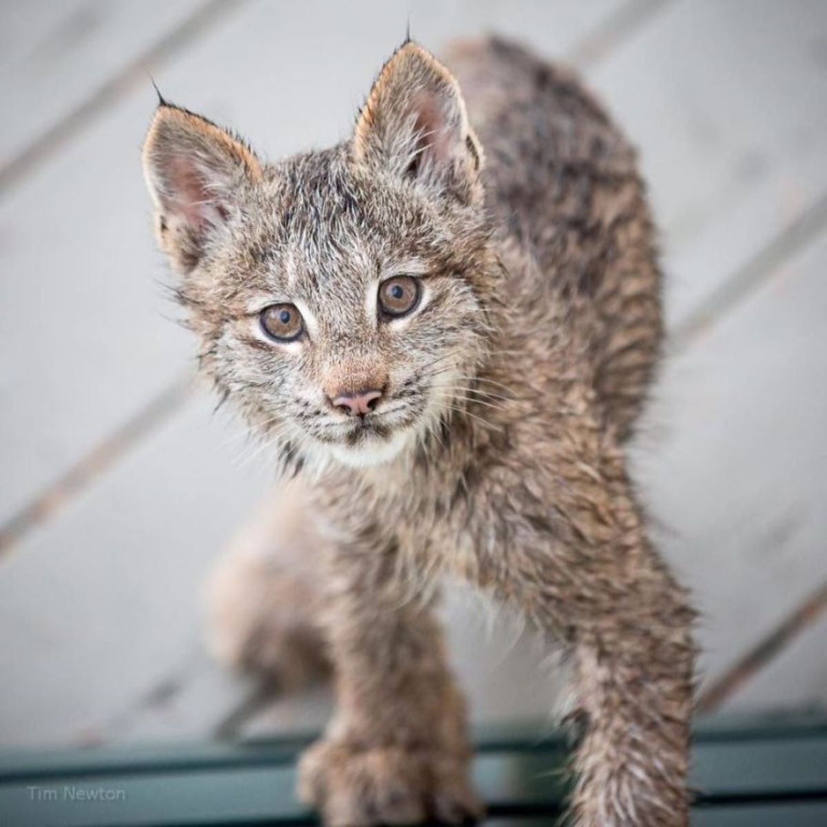 lince-in-posa
