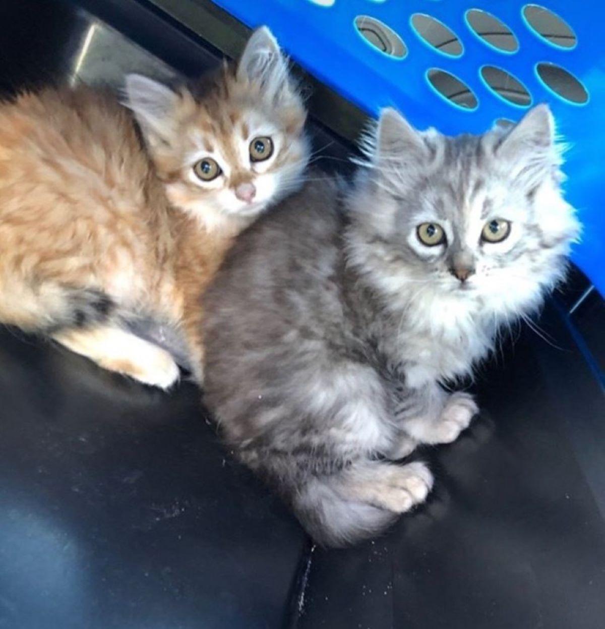 due-gattini-nel-trasportino