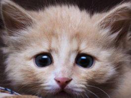 Cucciolo di gatto che osserva