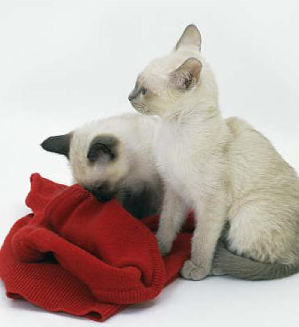 Gatti che ciucciano una coperta