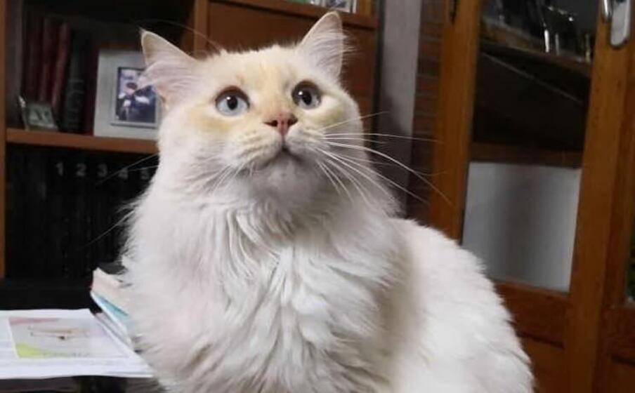 Gatto bianco che fissa
