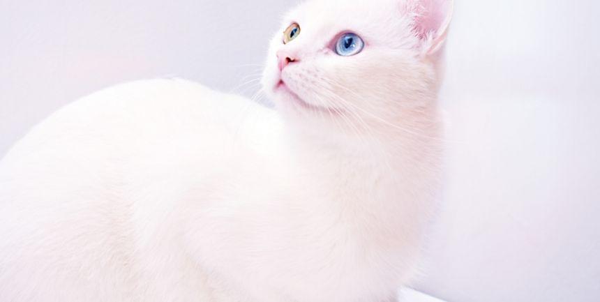 Gatto bianco con occhi chiari