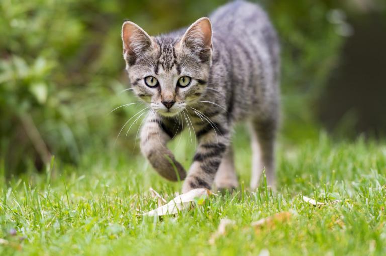 Gatto che cammina su un prato