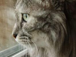 Gatto che guarda fuori dalla finestra