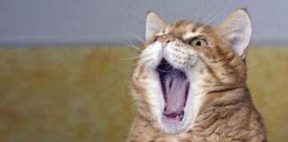 Gatto che miagola disperato