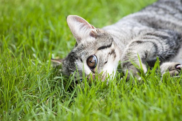Gatto che si rotola nell'erba