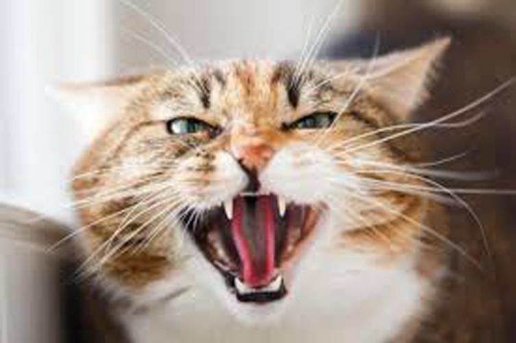 Gatto che soffia arrabbiato