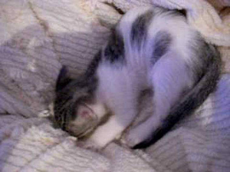 Gatto ciuccia coperta