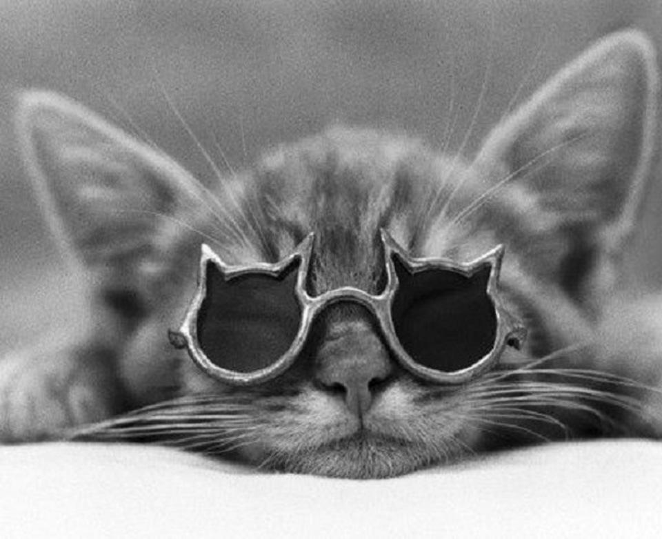 Gatto con occhiali da sole