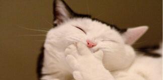 Gatto con zampa davanti alla bocca