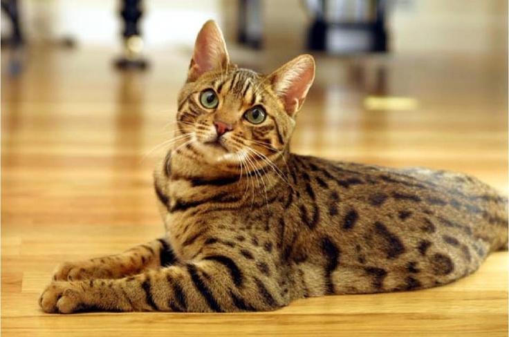 Gatto del Bengala che fissa