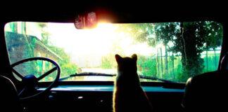 Gatto dentro una macchina
