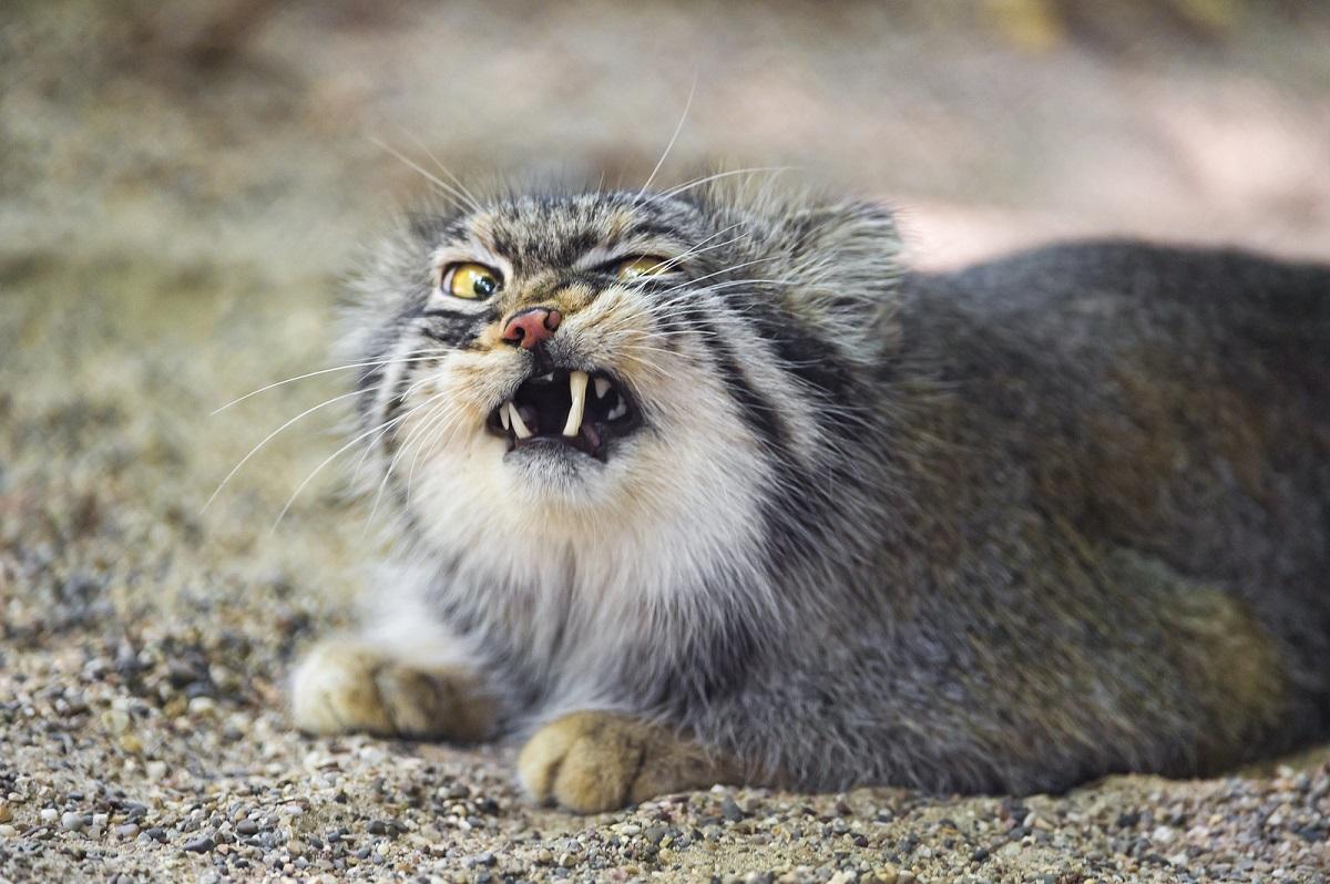 gatto di pallas faccia buffa