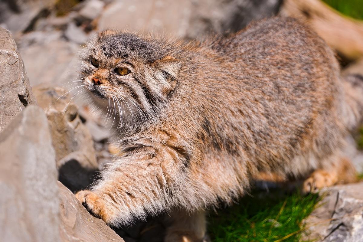 gatto di pallas tra le rocce